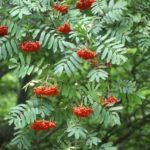 Лиственные растения: Рябина кустовая
