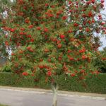 Лиственные растения: Рябина обыкновенная