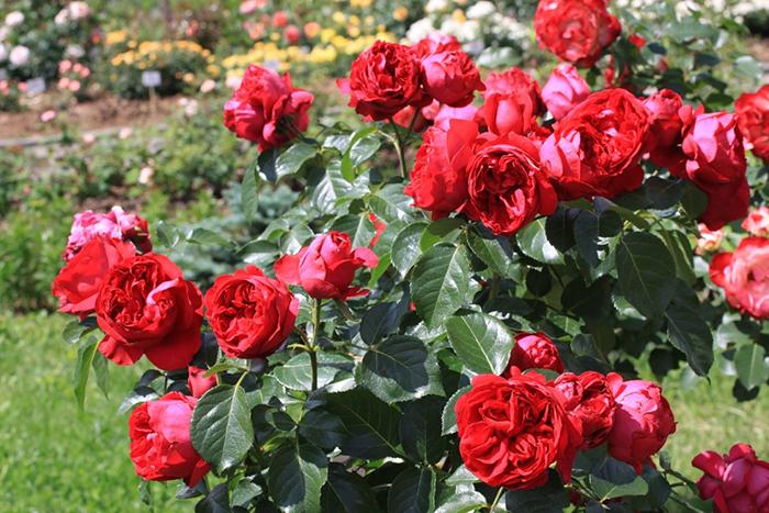 Купить 15 розу дешево