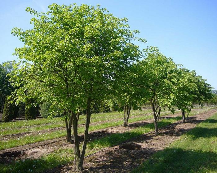 Посадка декоративных деревьев